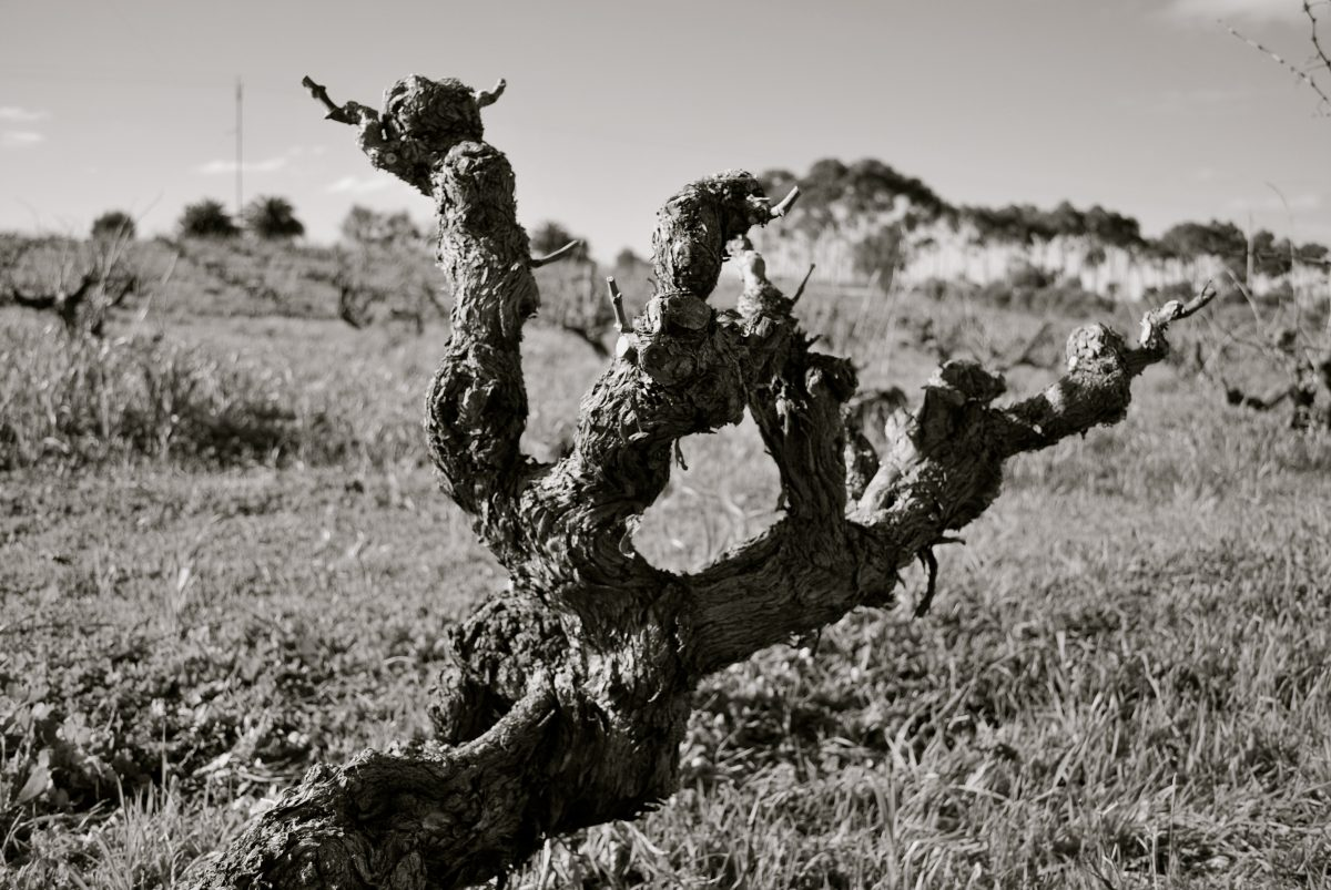 Three Brian's Grenache vine